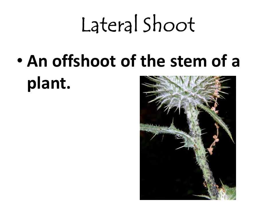 Lateral Shoot An offshoot of the stem of a plant.