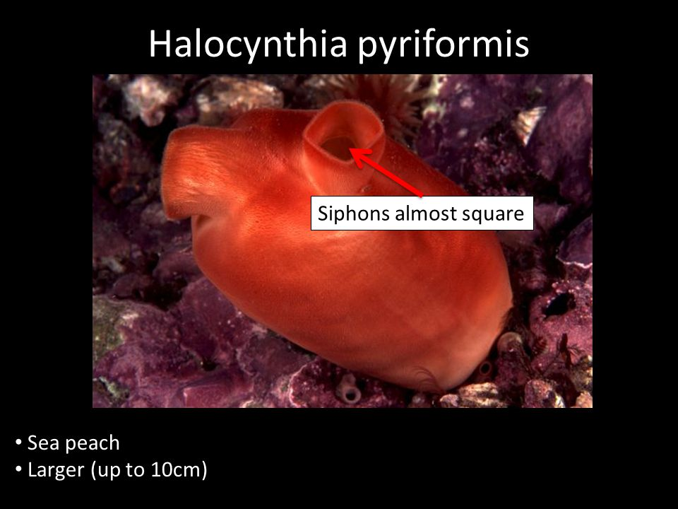 Halocynthia pyriformis Sea peach Larger (up to 10cm) Siphons almost square
