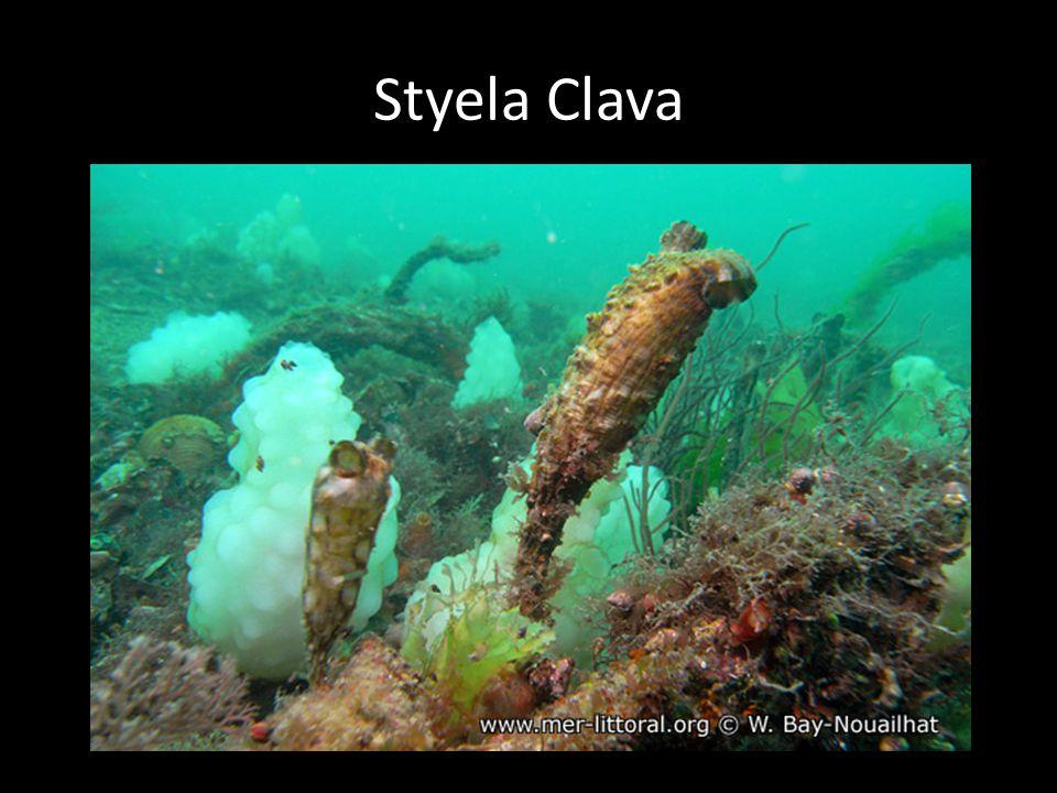 Styela Clava