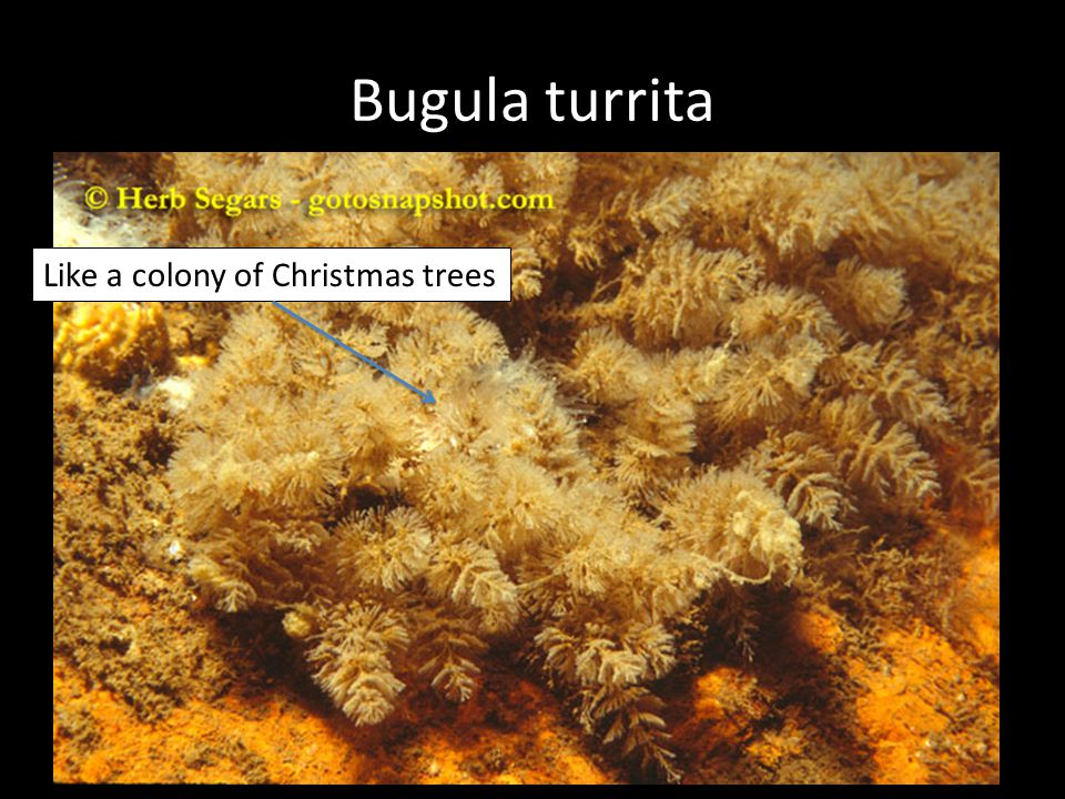 Bugula turrita Like a colony of Christmas trees
