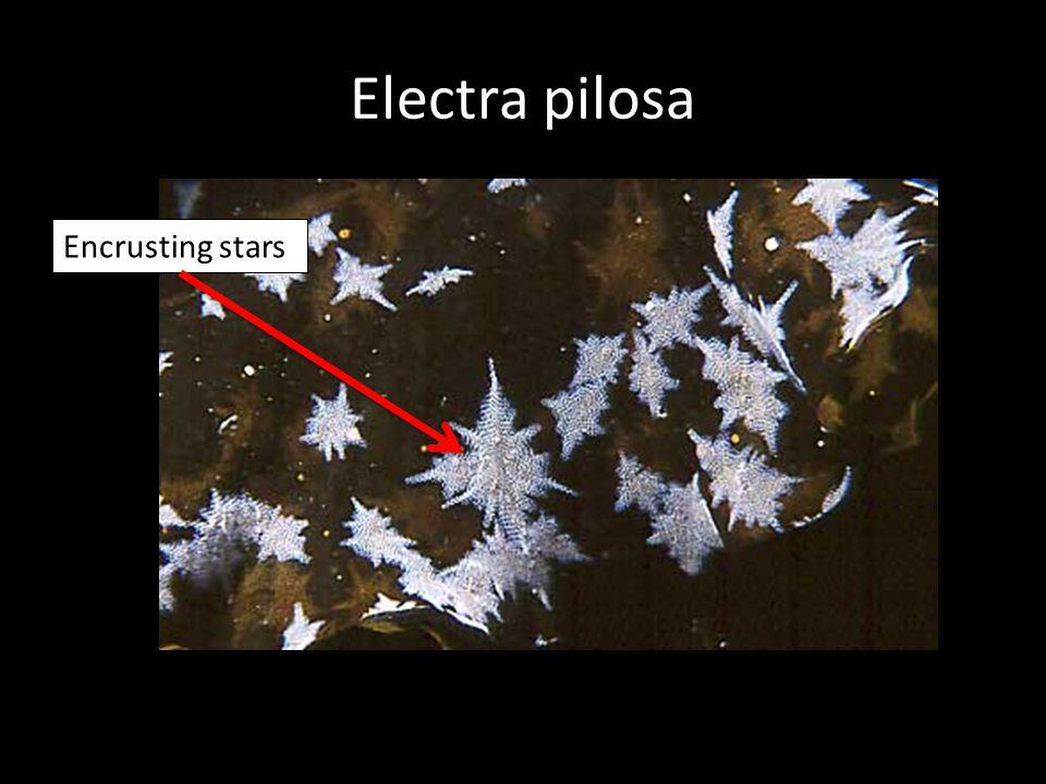 Electra pilosa Encrusting stars