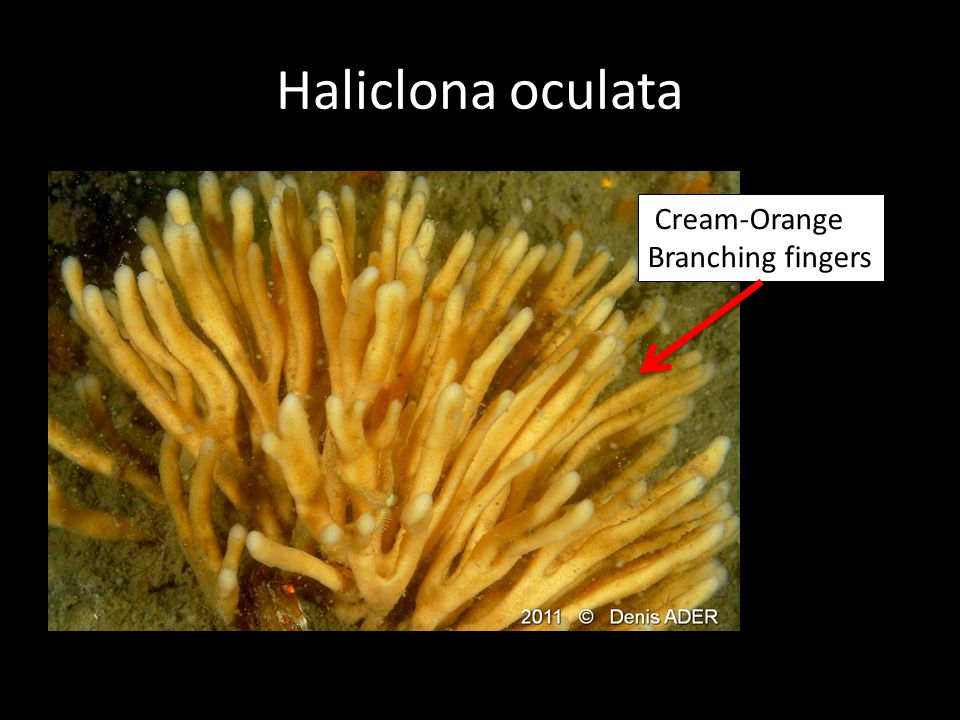 Haliclona oculata Cream-Orange Branching fingers