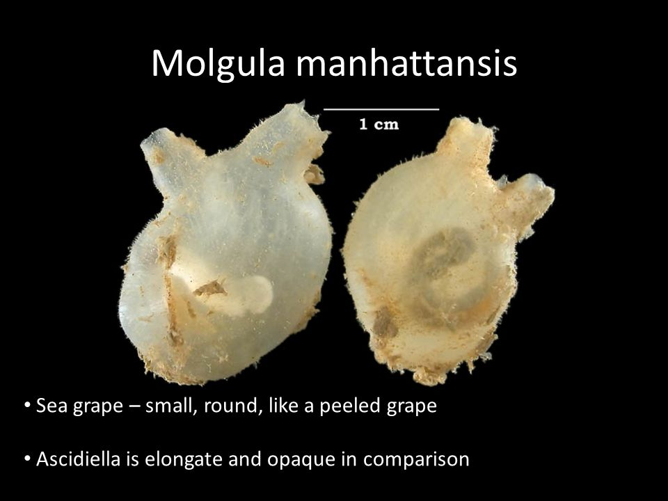 Molgula manhattansis Sea grape – small, round, like a peeled grape Ascidiella is elongate and opaque in comparison