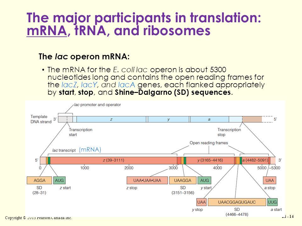 The major participants in translation: mRNA, tRNA, and ribosomes Copyright © 2013 Pearson Canada Inc. 28 - 14 The lac operon mRNA: The mRNA for the E.