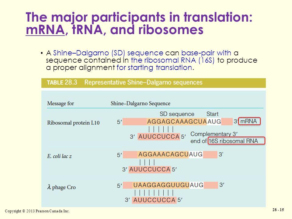 Copyright © 2013 Pearson Canada Inc. 28 - 15 The major participants in translation: mRNA, tRNA, and ribosomes A Shine–Dalgarno (SD) sequence can base-