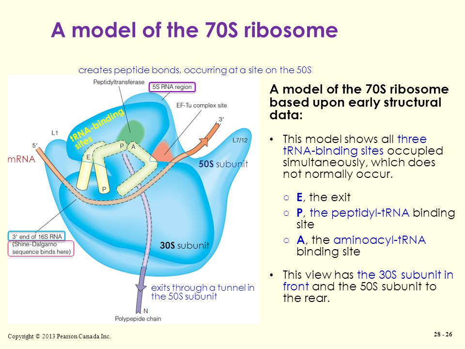 Copyright © 2013 Pearson Canada Inc. 28 - 26 A model of the 70S ribosome based upon early structural data: This model shows all three tRNA-binding sit