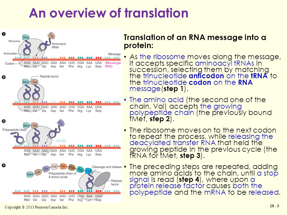 An overview of translation Copyright © 2013 Pearson Canada Inc. 28 - 3 Translation of an RNA message into a protein: As the ribosome moves along the m