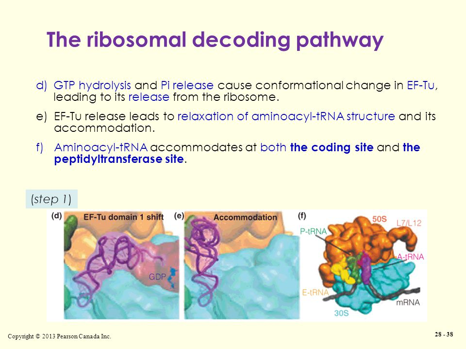 The ribosomal decoding pathway Copyright © 2013 Pearson Canada Inc. 28 - 38 d)GTP hydrolysis and Pi release cause conformational change in EF-Tu, lead