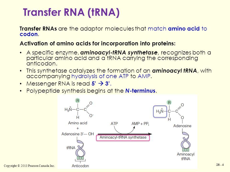 Transfer RNA (tRNA) Copyright © 2013 Pearson Canada Inc.