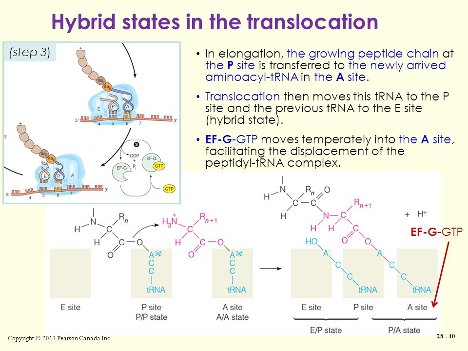 Hybrid states in the translocation Copyright © 2013 Pearson Canada Inc. In elongation, the growing peptide chain at the P site is transferred to the n