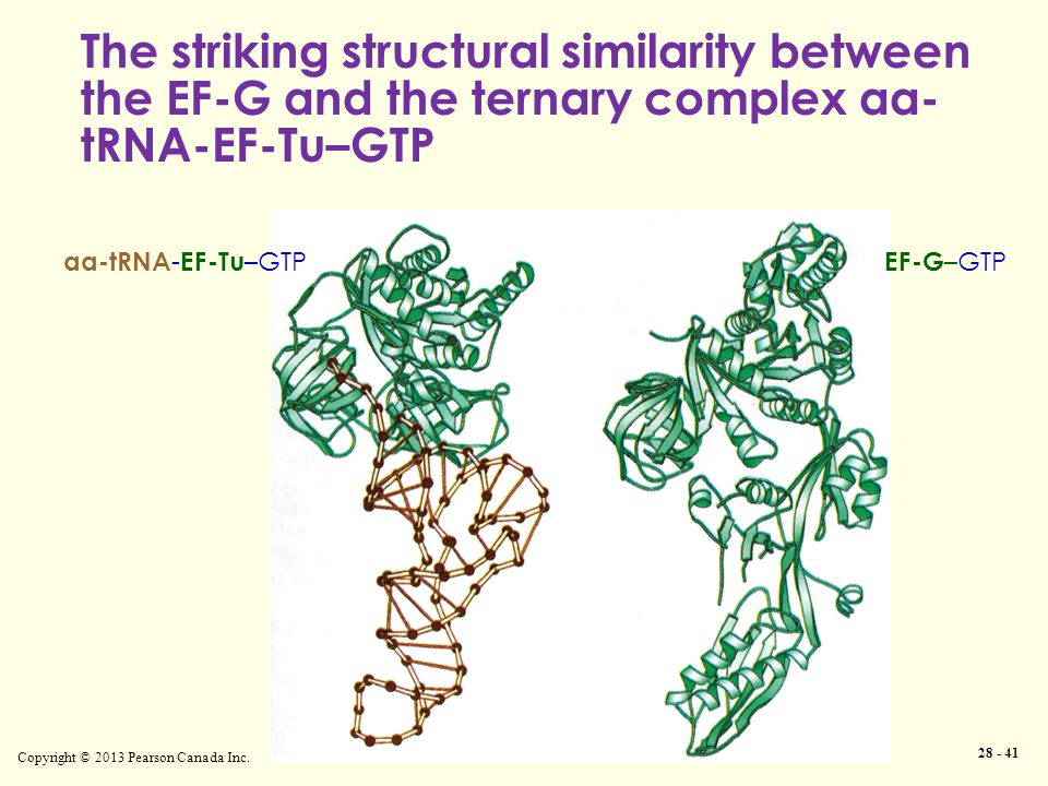 Copyright © 2013 Pearson Canada Inc. 28 - 41 The striking structural similarity between the EF-G and the ternary complex aa- tRNA-EF-Tu–GTP aa-tRNA -