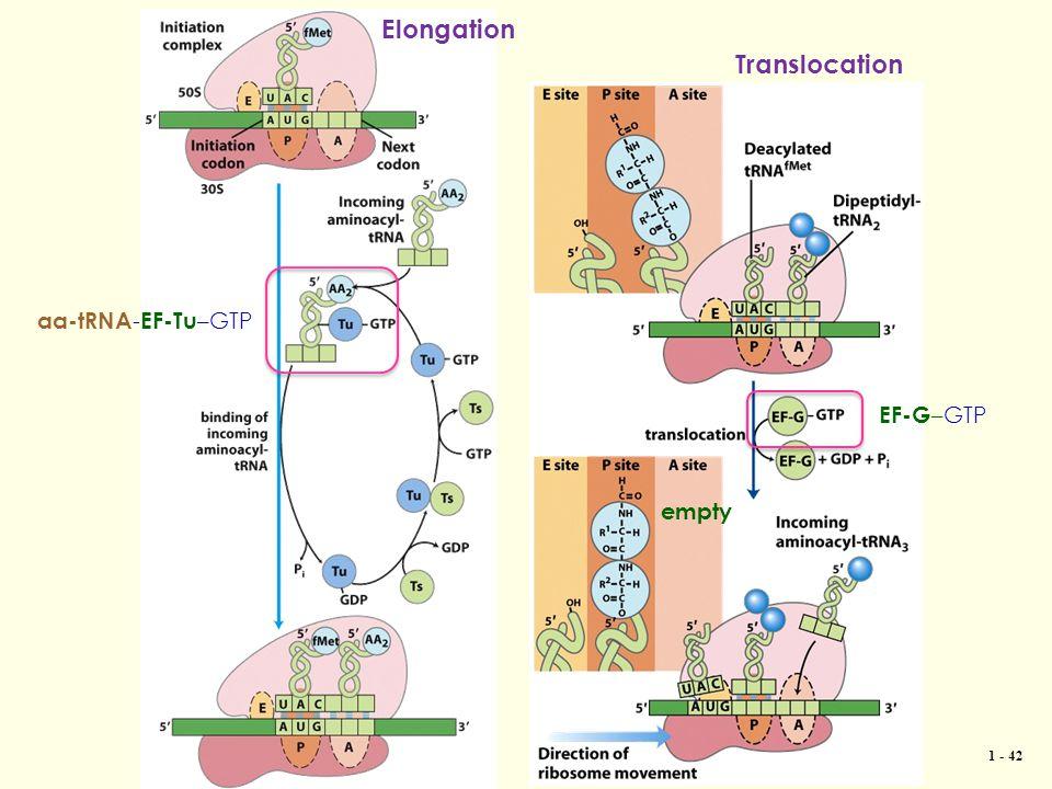 1 - 42 EF-G –GTP aa-tRNA - EF-Tu –GTP Translocation Elongation empty