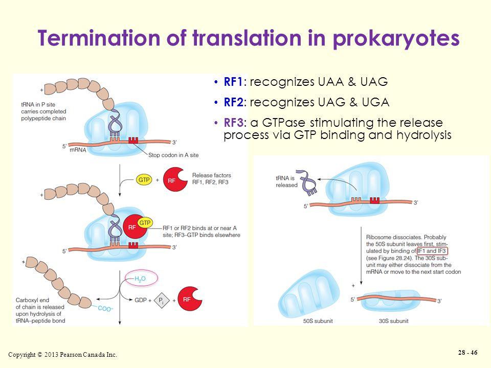 Copyright © 2013 Pearson Canada Inc. 28 - 46 Termination of translation in prokaryotes RF1 : recognizes UAA & UAG RF2 : recognizes UAG & UGA RF3 : a G