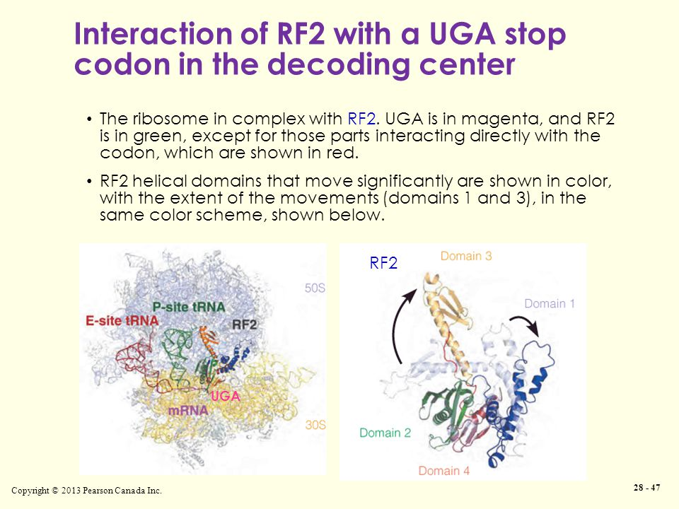 Interaction of RF2 with a UGA stop codon in the decoding center Copyright © 2013 Pearson Canada Inc.