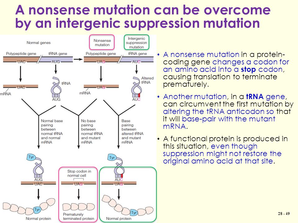 A nonsense mutation can be overcome by an intergenic suppression mutation Copyright © 2013 Pearson Canada Inc. 28 - 49 A nonsense mutation in a protei