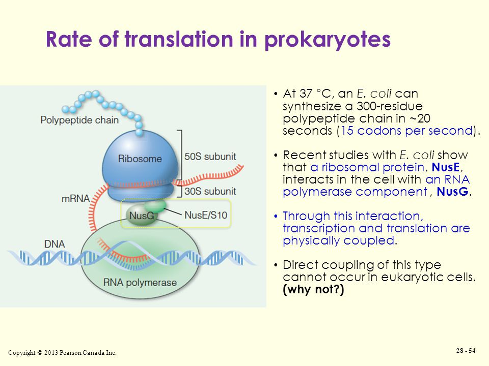 Rate of translation in prokaryotes Copyright © 2013 Pearson Canada Inc. 28 - 54 At 37 °C, an E. coli can synthesize a 300-residue polypeptide chain in