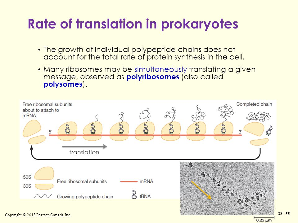 Copyright © 2013 Pearson Canada Inc. 28 - 55 The growth of individual polypeptide chains does not account for the total rate of protein synthesis in t