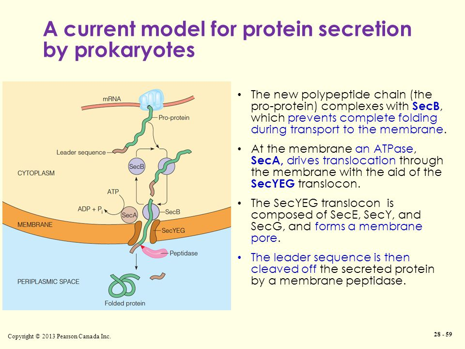 A current model for protein secretion by prokaryotes Copyright © 2013 Pearson Canada Inc.