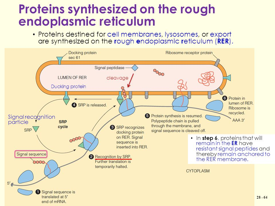 Proteins synthesized on the rough endoplasmic reticulum Copyright © 2013 Pearson Canada Inc. 28 - 64 Proteins destined for cell membranes, lysosomes,