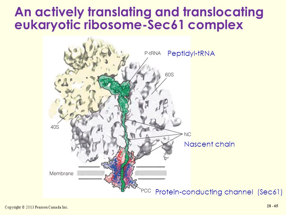 An actively translating and translocating eukaryotic ribosome-Sec61 complex Copyright © 2013 Pearson Canada Inc.