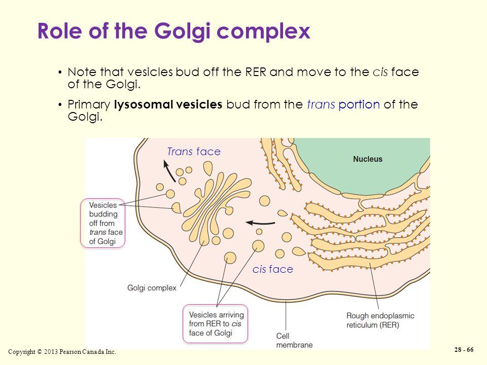 Role of the Golgi complex Copyright © 2013 Pearson Canada Inc.