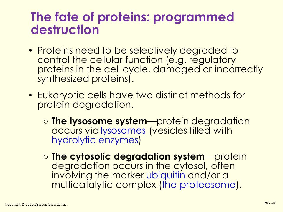 The fate of proteins: programmed destruction Copyright © 2013 Pearson Canada Inc.