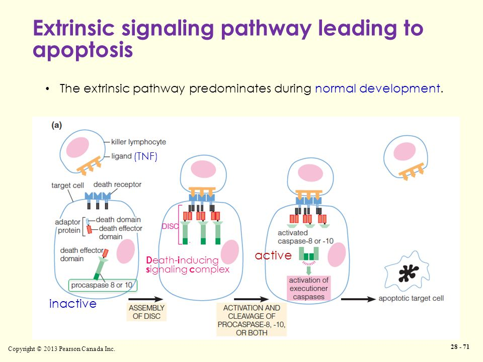 Extrinsic signaling pathway leading to apoptosis Copyright © 2013 Pearson Canada Inc. 28 - 71 The extrinsic pathway predominates during normal develop