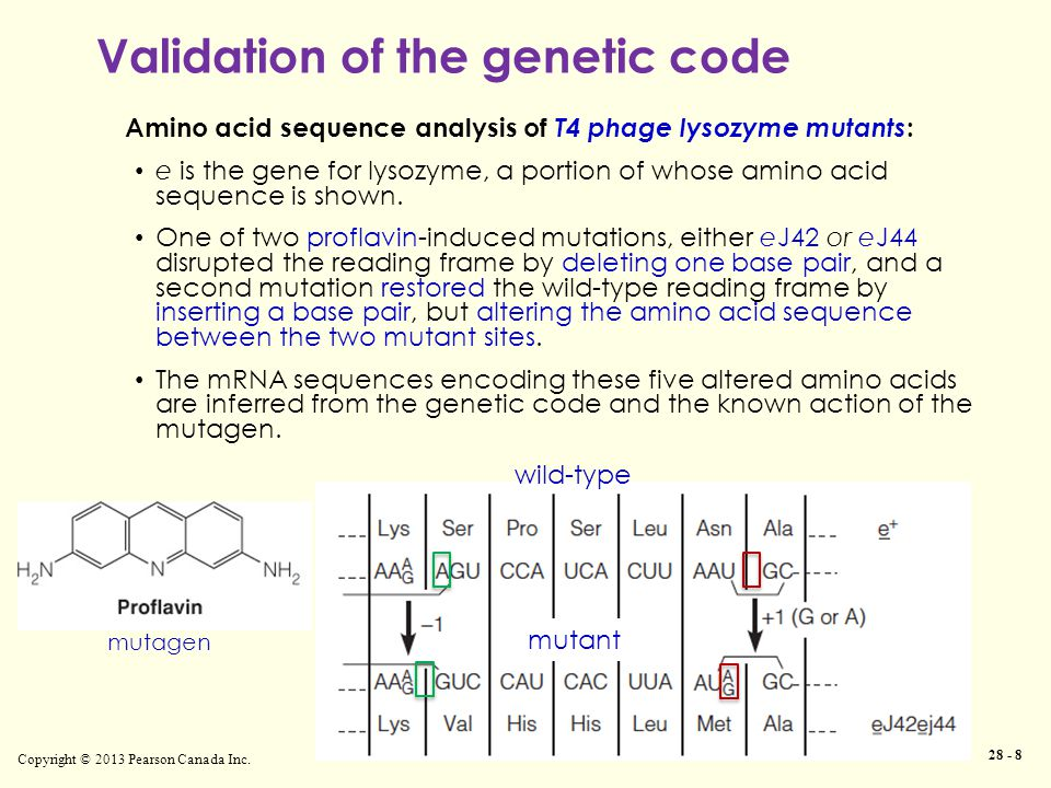 Copyright © 2013 Pearson Canada Inc. 28 - 8 Amino acid sequence analysis of T4 phage lysozyme mutants : e is the gene for lysozyme, a portion of whose