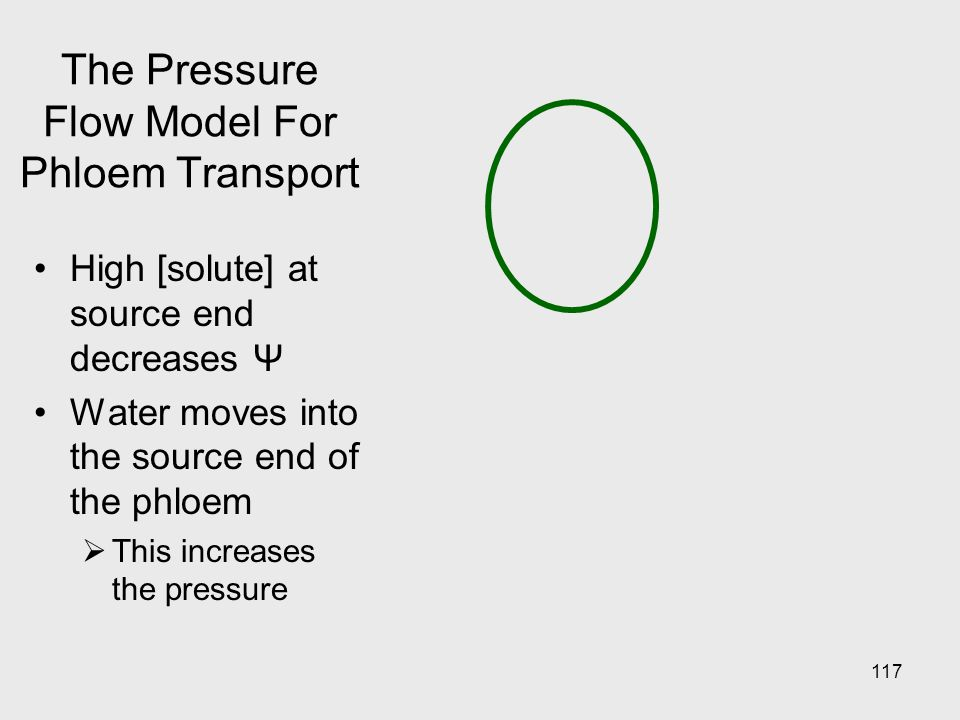 117 The Pressure Flow Model For Phloem Transport High [solute] at source end decreases Ψ Water moves into the source end of the phloem  This increase