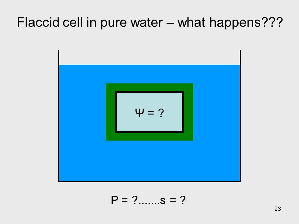23 Flaccid cell in pure water – what happens??? Ψ = ? P = ?.......s = ?