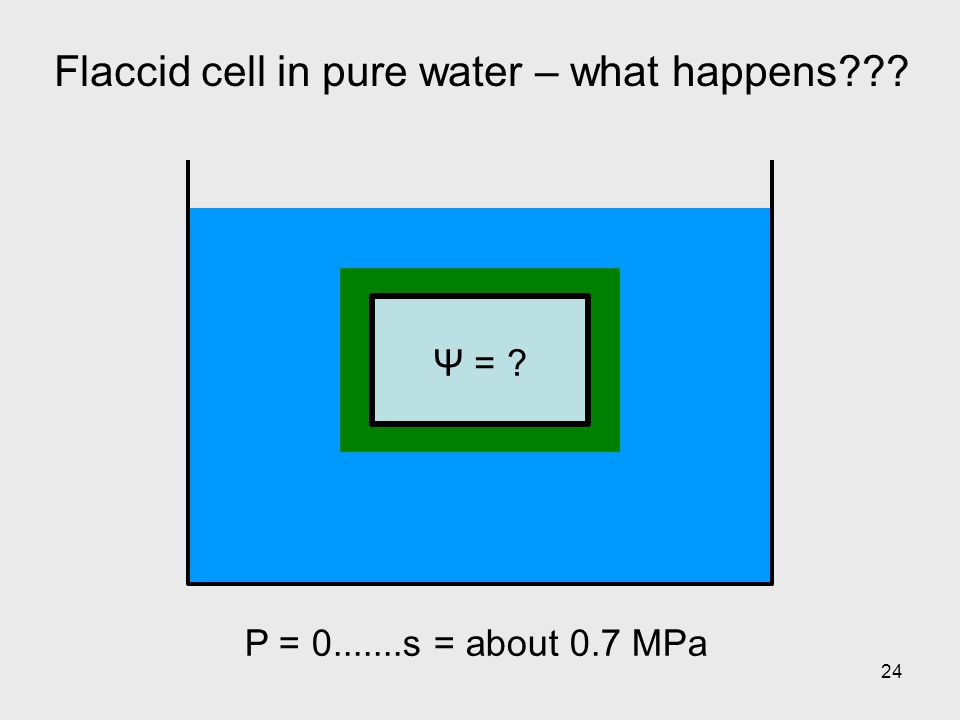 24 Flaccid cell in pure water – what happens??? Ψ = ? P = 0.......s = about 0.7 MPa