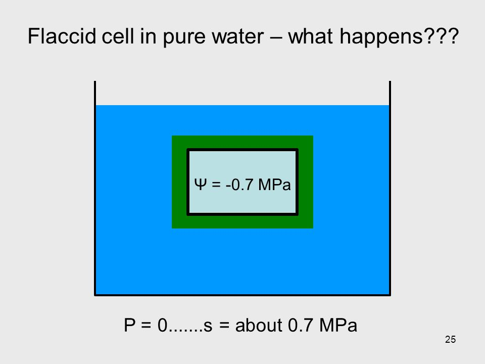 25 Flaccid cell in pure water – what happens??? Ψ = -0.7 MPa P = 0.......s = about 0.7 MPa