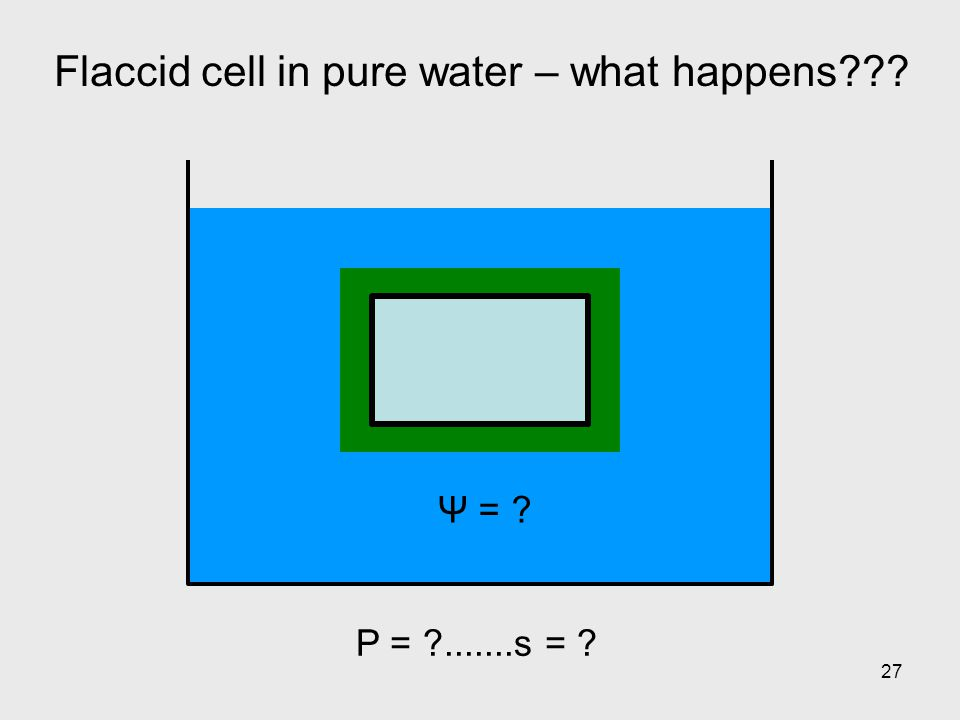 27 Flaccid cell in pure water – what happens??? Ψ = ? P = ?.......s = ?