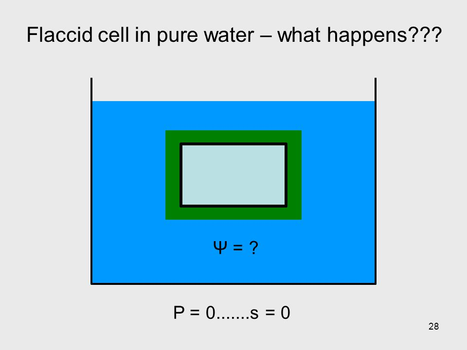 28 Flaccid cell in pure water – what happens??? P = 0.......s = 0 Ψ = ?