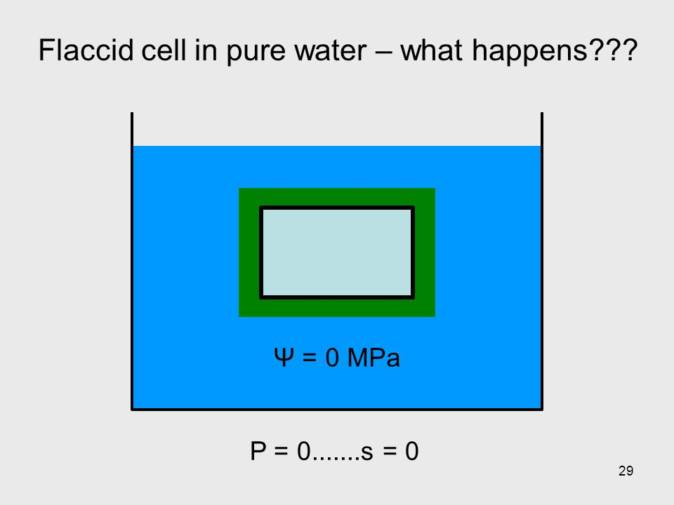 29 Flaccid cell in pure water – what happens??? Ψ = 0 MPa P = 0.......s = 0