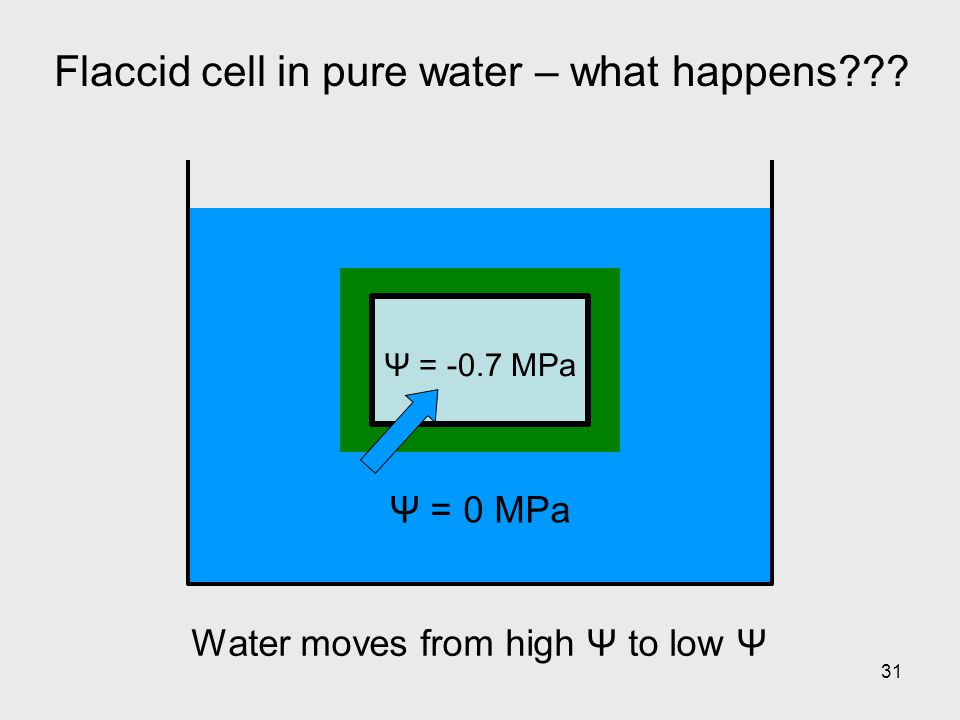 31 Flaccid cell in pure water – what happens??? Ψ = 0 MPa Water moves from high Ψ to low Ψ Ψ = -0.7 MPa