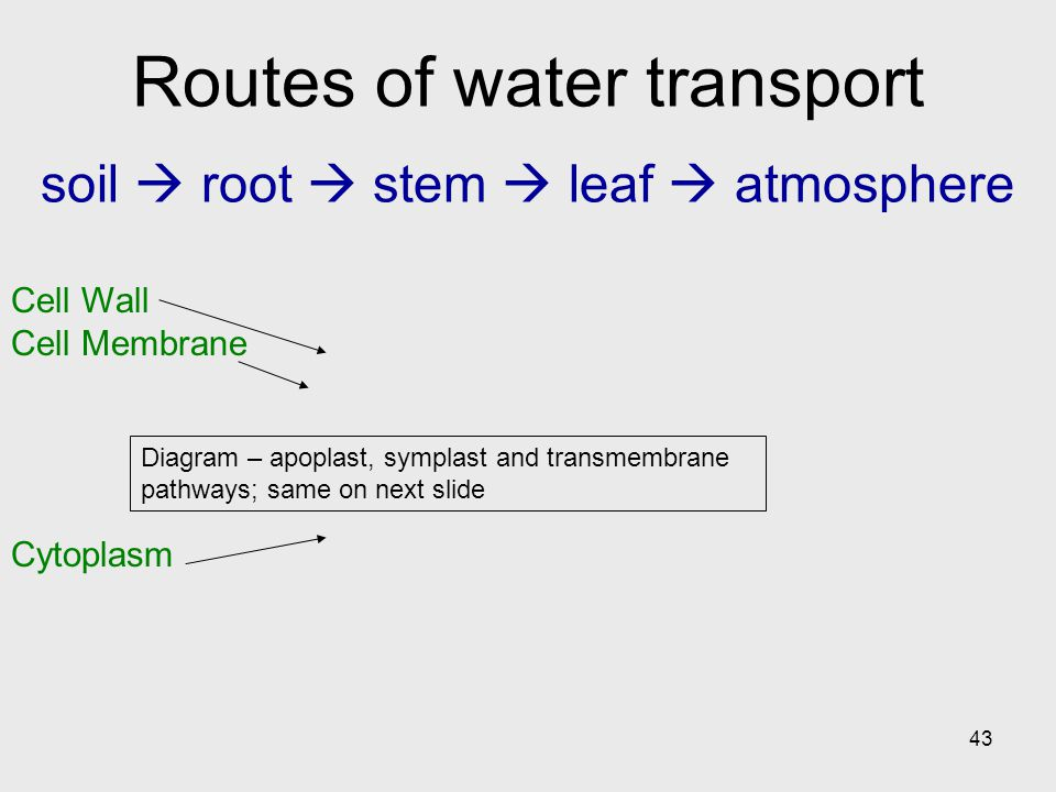 43 Diagram – apoplast, symplast and transmembrane pathways; same on next slide Cell Wall Cell Membrane Cytoplasm Routes of water transport soil  root