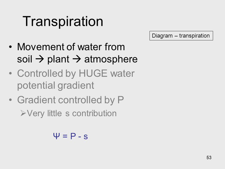 53 Diagram – transpiration Transpiration Movement of water from soil  plant  atmosphere Controlled by HUGE water potential gradient Gradient control