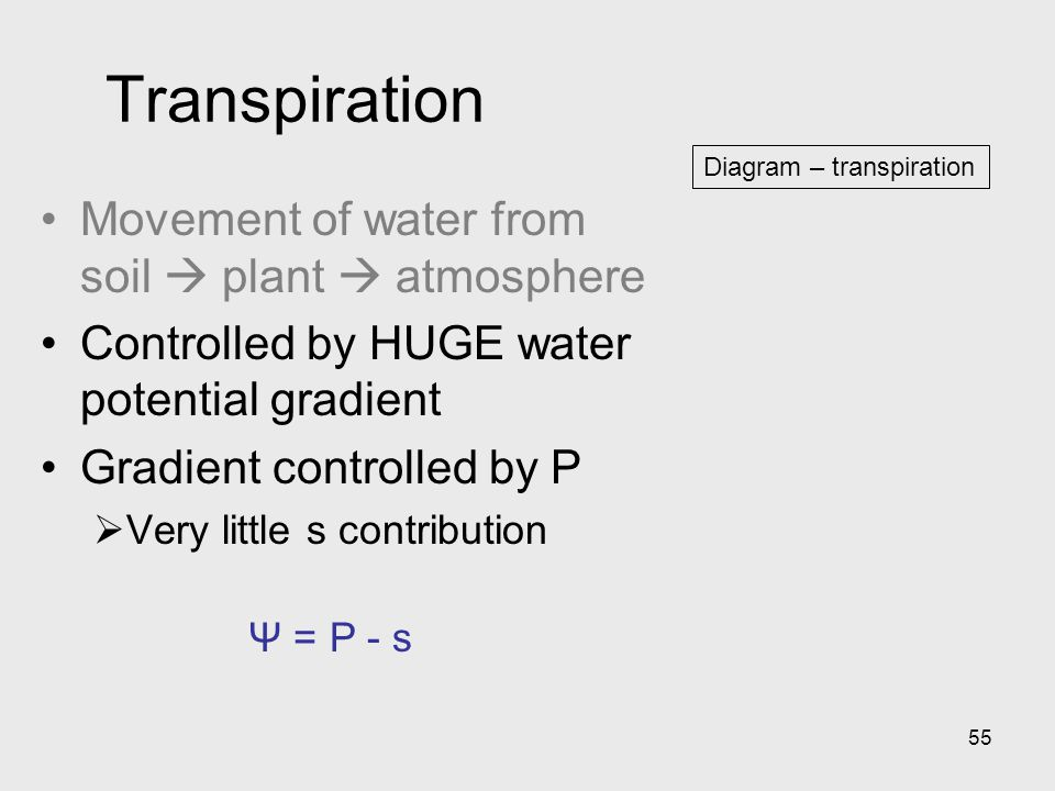 55 Diagram – transpiration Transpiration Movement of water from soil  plant  atmosphere Controlled by HUGE water potential gradient Gradient control