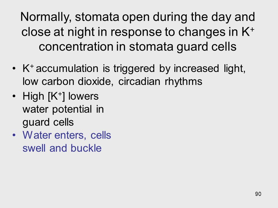 90 High [K + ] lowers water potential in guard cells Water enters, cells swell and buckle K + accumulation is triggered by increased light, low carbon