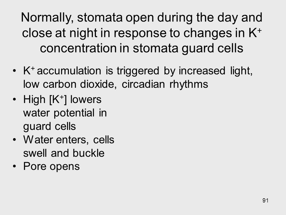 91 High [K + ] lowers water potential in guard cells Water enters, cells swell and buckle Pore opens K + accumulation is triggered by increased light,