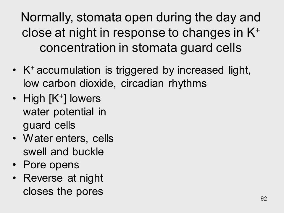 92 High [K + ] lowers water potential in guard cells Water enters, cells swell and buckle Pore opens Reverse at night closes the pores K + accumulatio