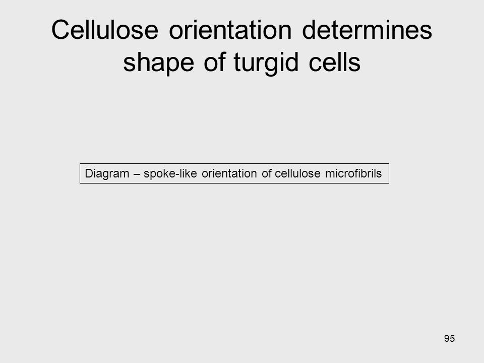 95 Diagram – spoke-like orientation of cellulose microfibrils Cellulose orientation determines shape of turgid cells