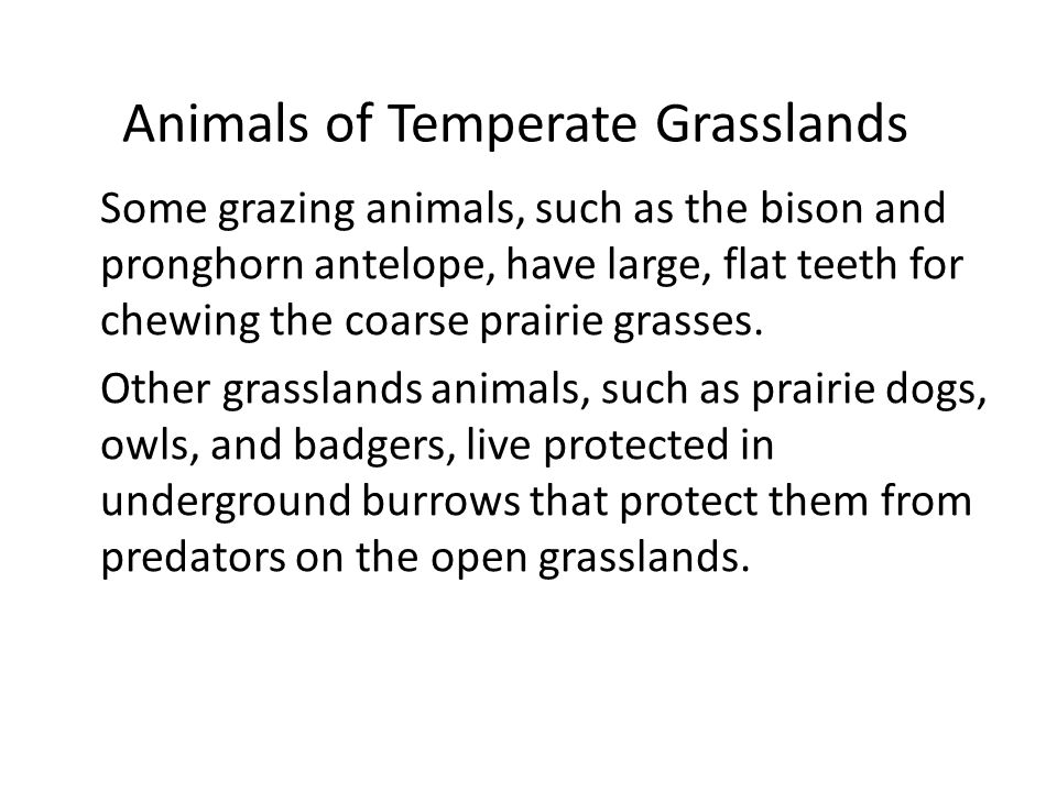 Animals of Temperate Grasslands Some grazing animals, such as the bison and pronghorn antelope, have large, flat teeth for chewing the coarse prairie