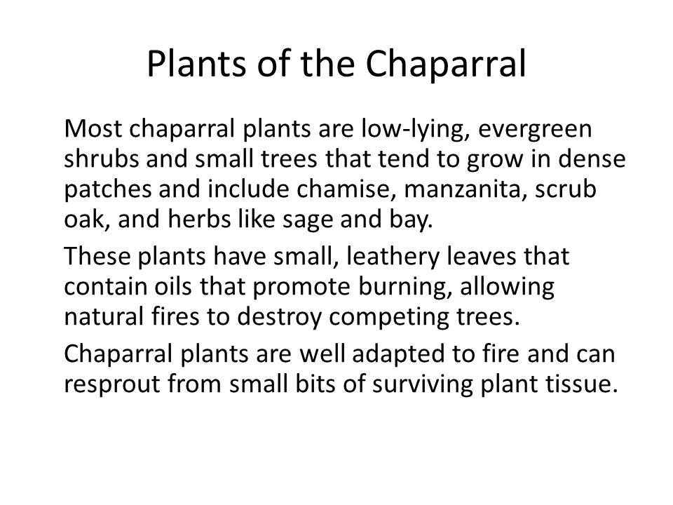 Plants of the Chaparral Most chaparral plants are low-lying, evergreen shrubs and small trees that tend to grow in dense patches and include chamise,