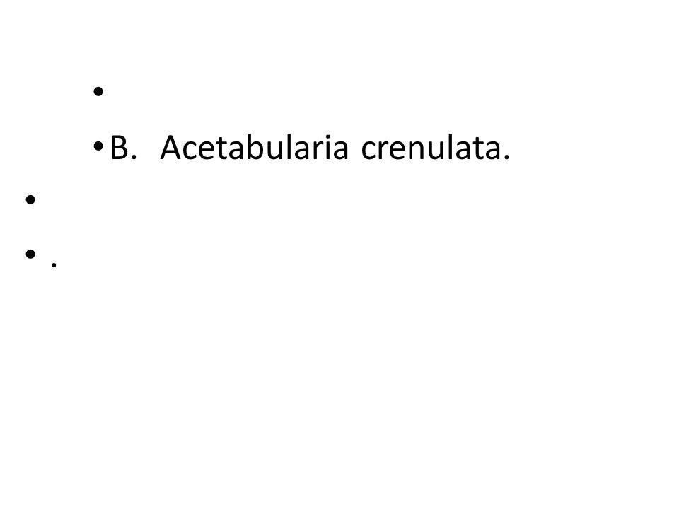 B. Acetabularia crenulata..
