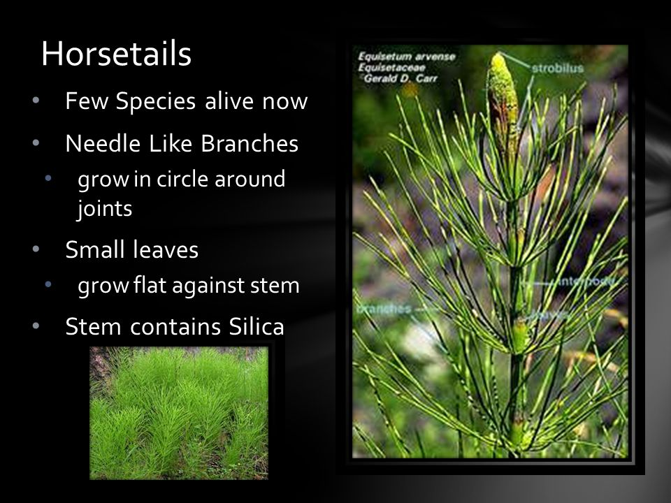 Few Species alive now Needle Like Branches grow in circle around joints Small leaves grow flat against stem Stem contains Silica Horsetails