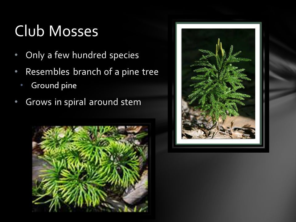 Only a few hundred species Resembles branch of a pine tree Ground pine Grows in spiral around stem Club Mosses