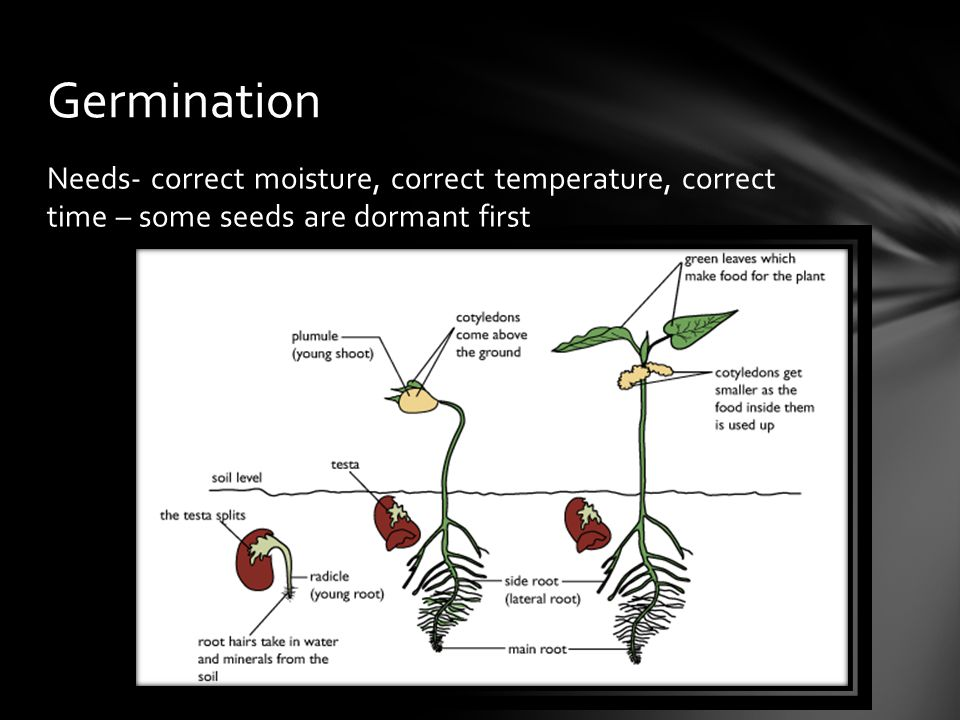 Needs- correct moisture, correct temperature, correct time – some seeds are dormant first Germination