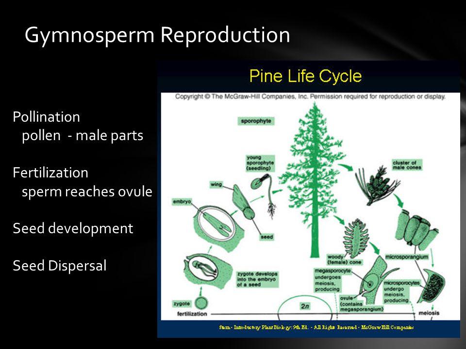 Gymnosperm Reproduction Pollination pollen - male parts Fertilization sperm reaches ovule Seed development Seed Dispersal